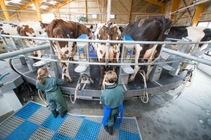 Traite de vaches Normande