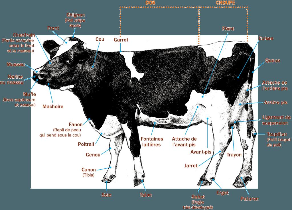 Anatomie d'une vache
