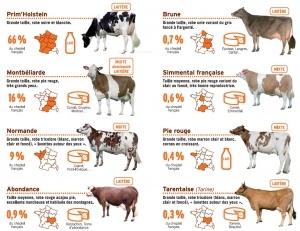 Schéma races de vache